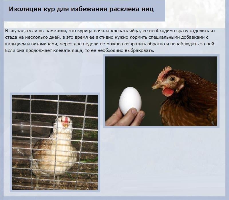 курицы съедают яйца что делать