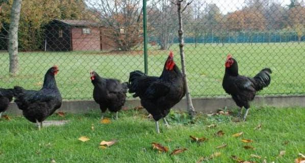 джерсийский гигант порода кур