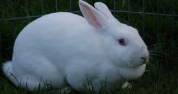 кролики и лечение живота
