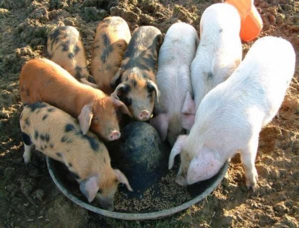 кормление свиней отходами со стола