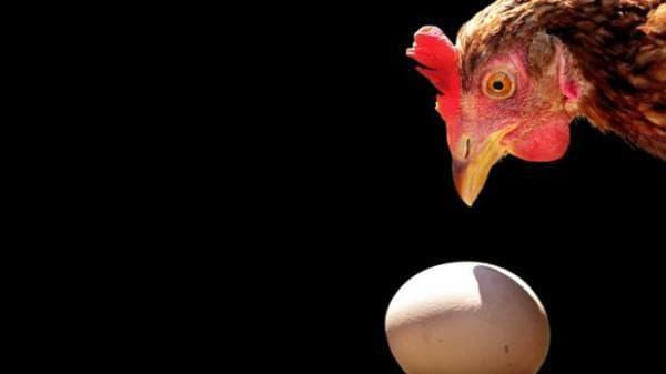 Что делать, если курица несет яйца без скорлупы