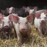 Ландрас — беконовая порода свиней