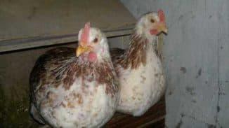 загорская лососёвая курица