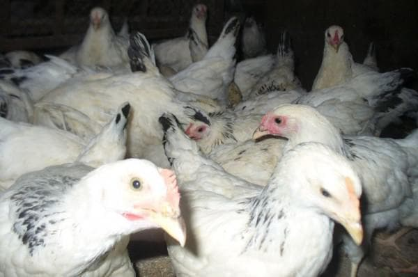 курицы несушки