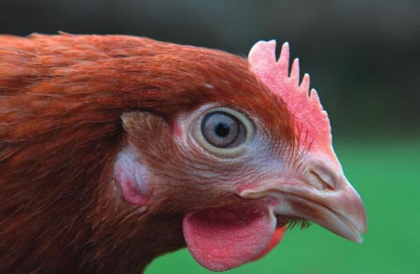 клюв у курицы