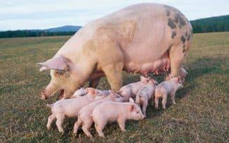 беременная свинья и симптомы