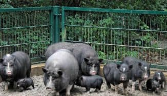 свиньи вьетнамские большие и малые