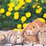 Как и в каком возрасте случают кроликов