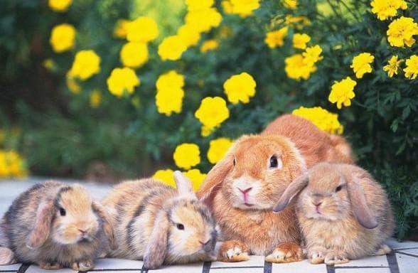 С какого возраста случают кроликов