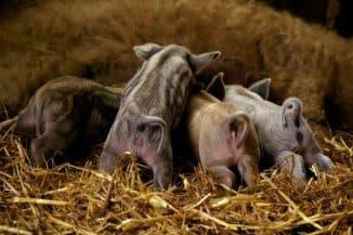 свинья мангальской породы с шерстью