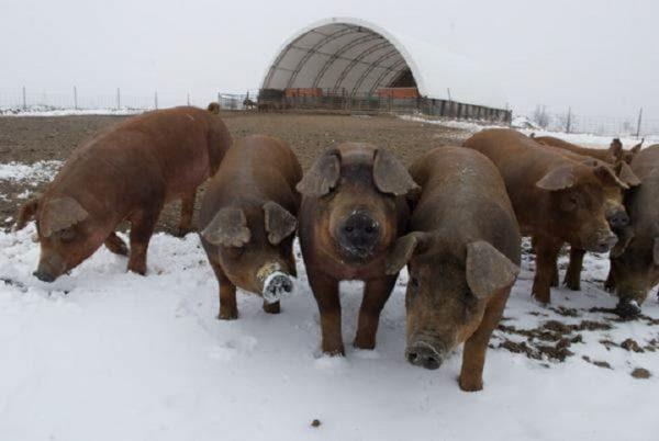 Сколько лет живут свиньи в домашних условиях