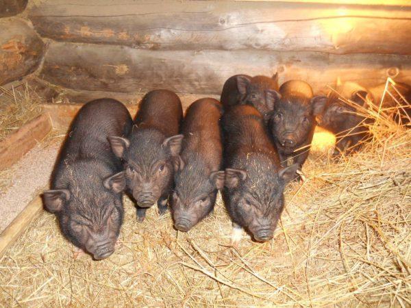 Вс о вьетнамских свиньях как расить поросят в домашних условиях