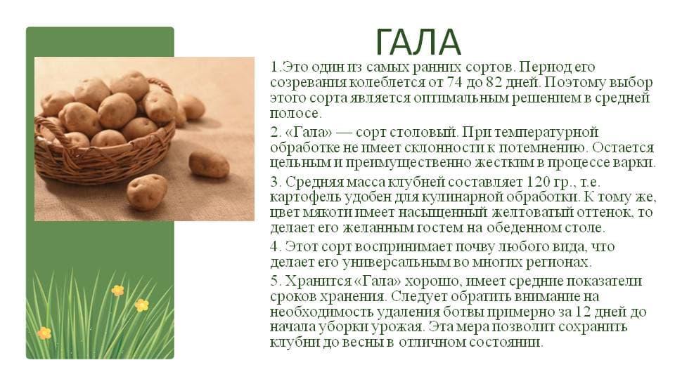 прайма просторах гала картофель характеристика фото развитие