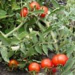 Как правильно выращивать помидоры для Урала в теплице