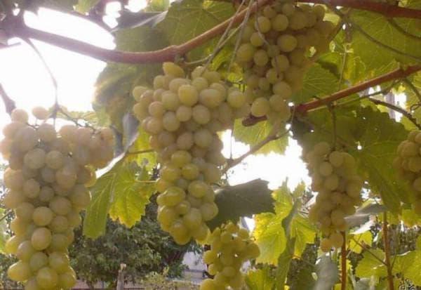виноградник Августин