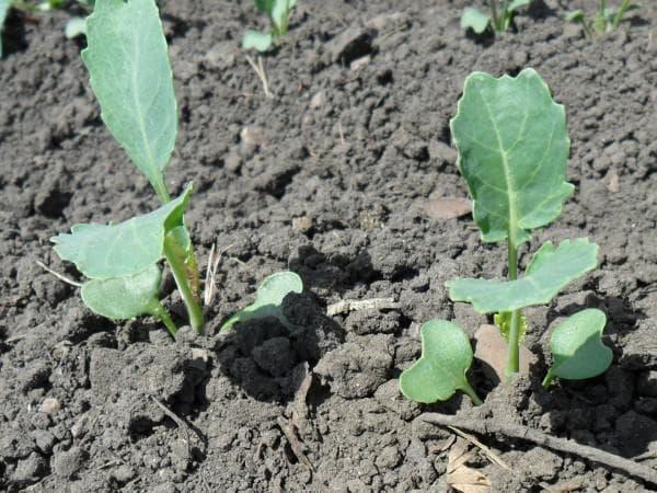 как выращивать брокколи