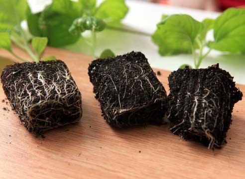 ростки баклажана