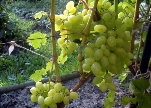 виноградник восторг