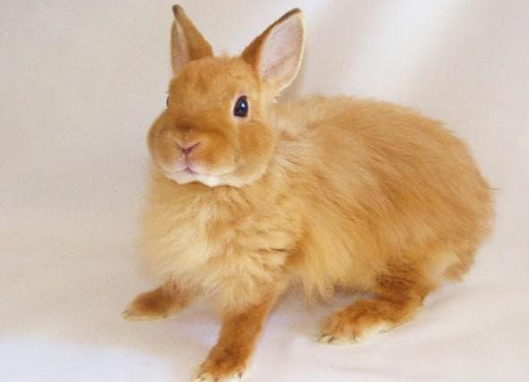 лисья порода кролик