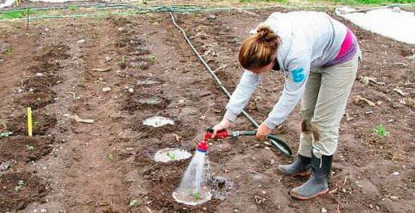 посадка помидор в теплице по Голландскому методу