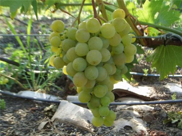 виноградник Дружба