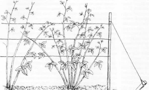 выращивание мальны по методу Соболева