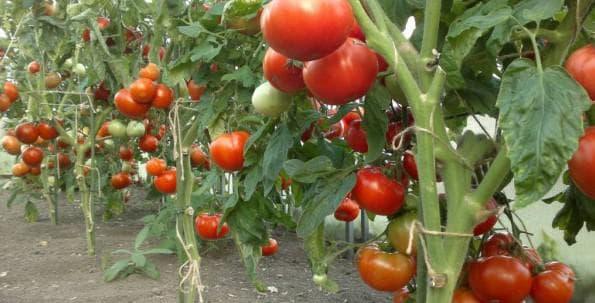 Метод выращивания помидор по маслову