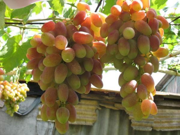 виноградник Преображение