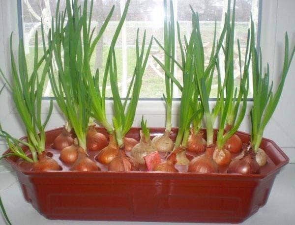 как вырастить зелень на воде
