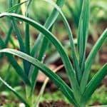 Лук порей: особенности выращивания и ухода