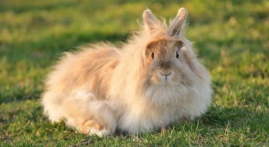 кролик ангорский