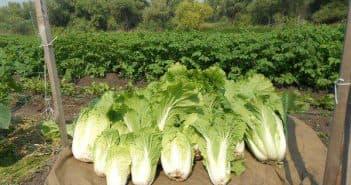 выращивание пекинской капусты дома