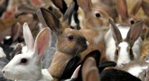 Сколько крольчиха вынашивает крольчат - сроки