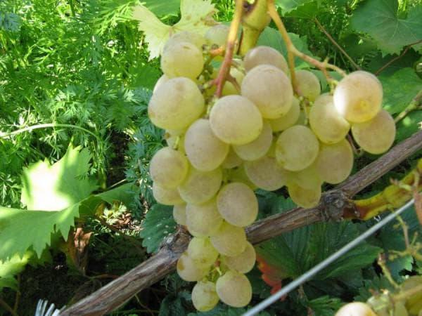 виноградник Надежда Аксайская