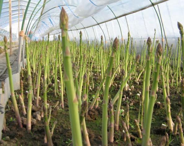 выращивание спаржи на даче