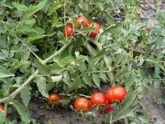 помидоры для открытого грунта