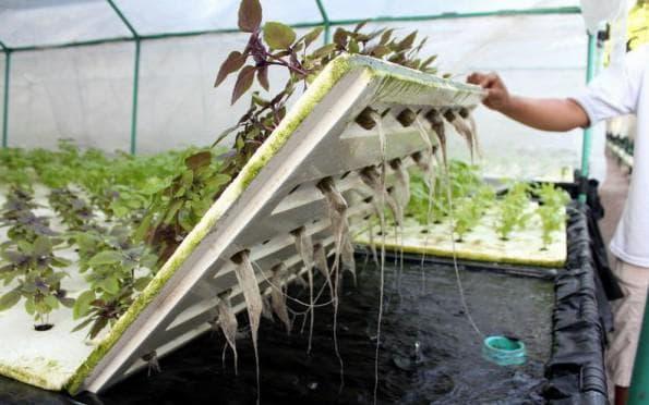 зелень в гидропонике