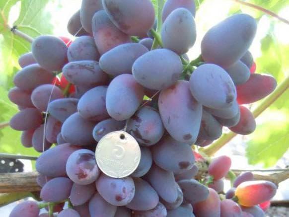 виноградник Лелик
