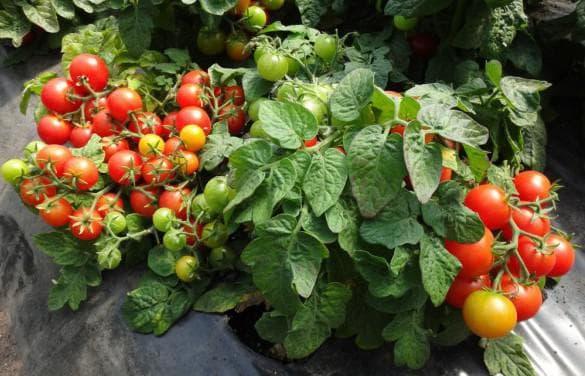 помидоры Биатлон