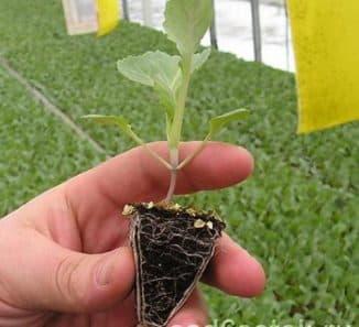 подготовка посадочного материала тыквы