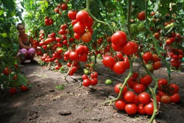 высокорослые помидоры для теплиц