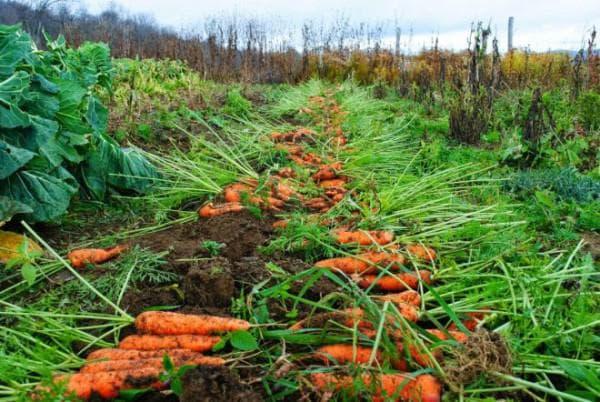 прореживание моркови в открытом грунте