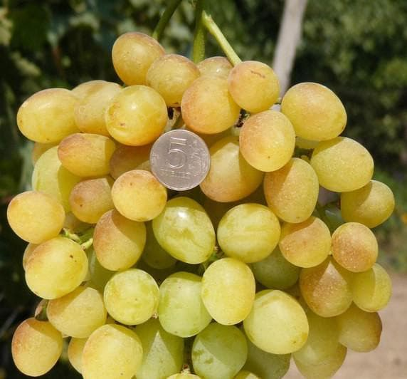 виноградник Супер-экстра