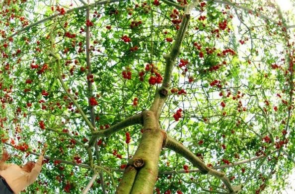 спрут помидорное дерево