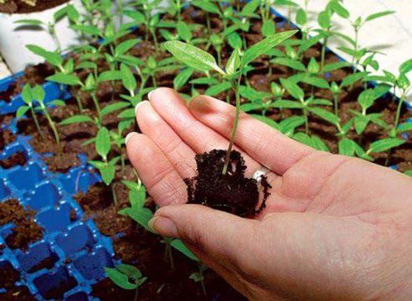 Как правильно сажать перец на рассаду в домашних условиях