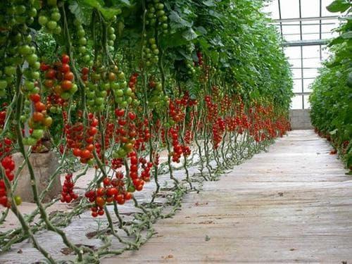 помидоры счастье