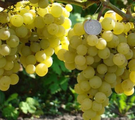 виноградник F 14–75