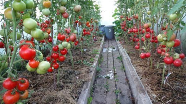 помидоры Малиновое чудо