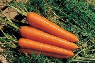 поздние сорта моркови