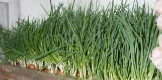 рост лука в теплице